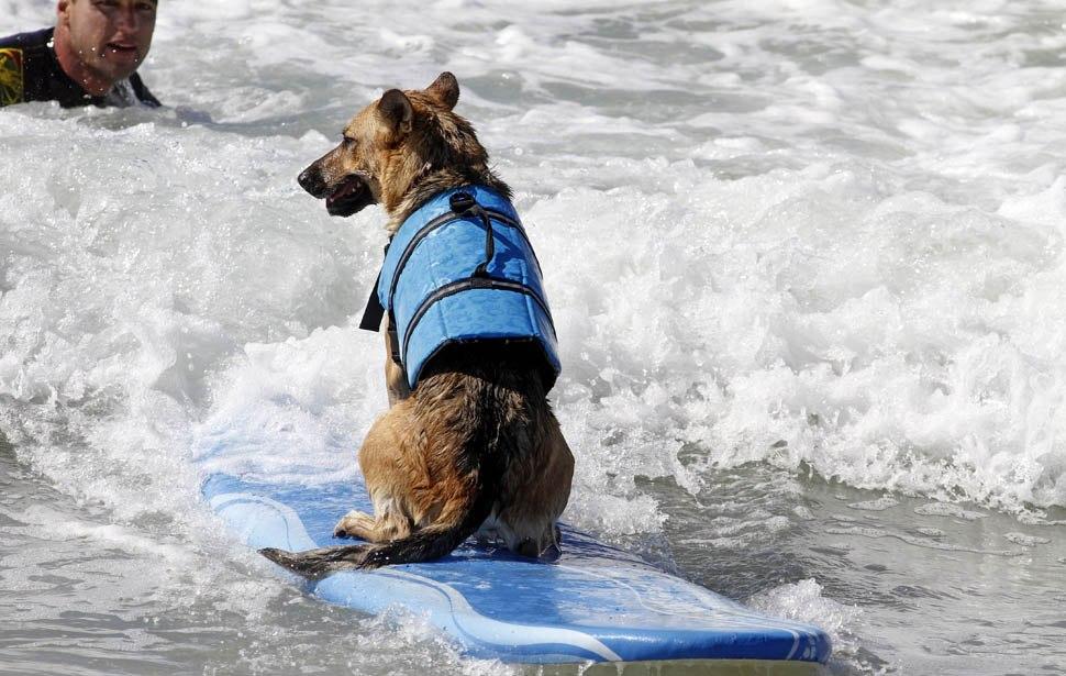 В США прошли соревнования по серфингу среди собак