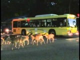 The traffic congestion caused by deer