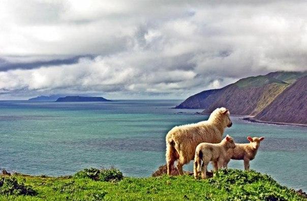 Новозеландские овцы