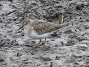 Temminck's Stint, Porth Hellick, St Mary's, Scilly, 310816