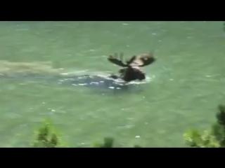 ❗️Уникальное видео, лось кормиться водорослями под водой❗️ ❗️