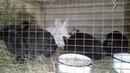 Кролики помесь новозеландской белой НЗБ и французского барана возраст 3 месяца