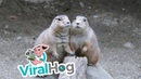 Prairie Dogs Pose for Pictures || ViralHog