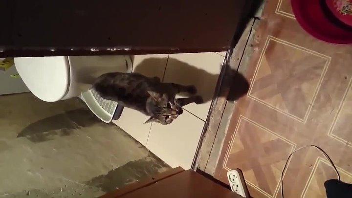 Адский кот орёт на хозяина не пускает в туалет