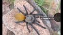 Amazing Orange abdomen Harpactira species discovered in Namibia