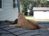 Белка вернулась домой, чтобы поиграть со старой подружкой - домашней кошкой