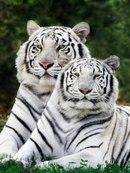 """Предпросмотр схемы вышивки  """"парочка белых тигров """" ."""