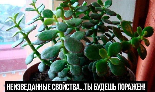 Ты будешь поражен. Скорее всего, у тебя в доме растет это целебное растение. Научись его использовать правильно! Неизведанные свойства…