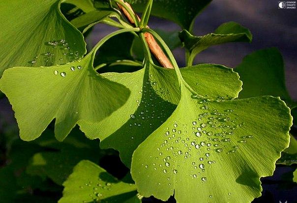 Самое древнее растение, дающее семена