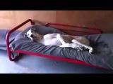 большая собака не  хочет вставать с кровати