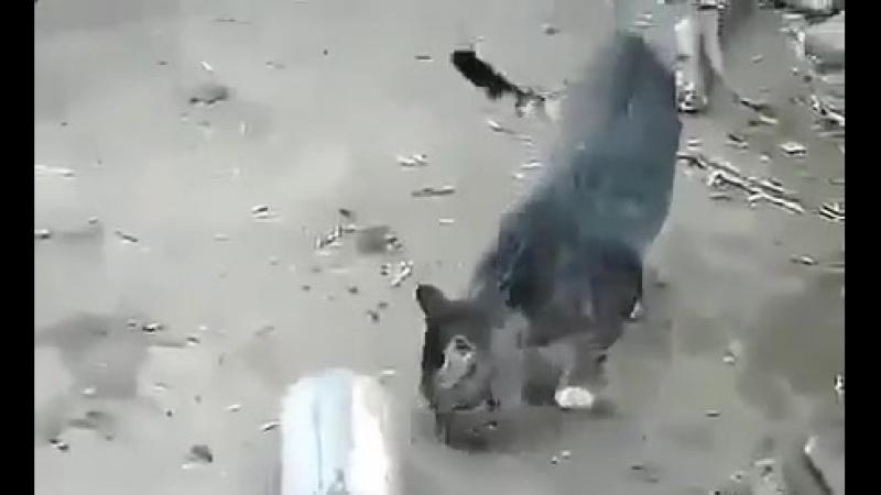 Кошка придушила мышь и играется с мышью! Прикол!Юмор! Смех Смешные приколы с кош