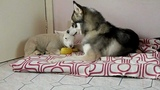 rest time ( baby lamb and Husky)