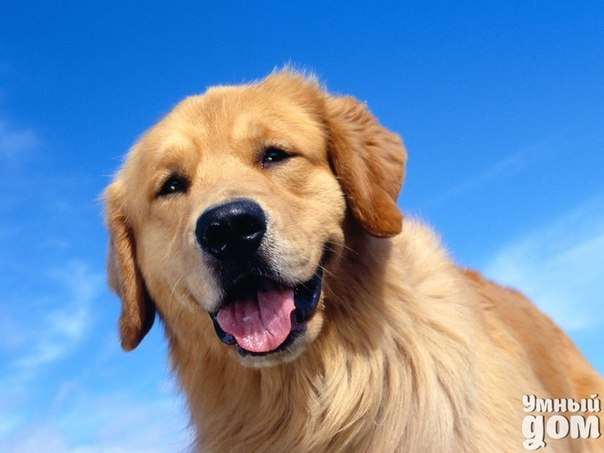 Чем кормить собаку породы золотистый ретривер? Для того чтобы щенок был здоровым и имел правильное телосложение, нужно особое внимание уделять его питанию. Ведь, при обильном рационе, уже к полугоду ретривер будет страдать ожирением. Также, важно и то, чем кормить щенков золотистого ретривера. Некоторые заводчики полагают, что лучший корм для щенков ретривера – это профессиональные корма. Многие производители качественных кормов создают их специально для собак этой породы разных возрастов. Как…