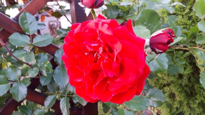 Цветение роз в Подмосковье 2018 год