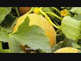 Как вырастить арбузы и дыни на даче - Школа цветоводства