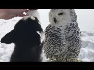Полярная сова Нюша и хаски Илона.