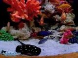 Густонаселенный аквариум с малавийскими цихлидами и скатом Леопольди