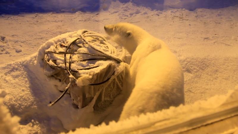 Молодой белый медведь пришел на обед в столовую вахтового городка восточный Таймыр мыс Сибирский