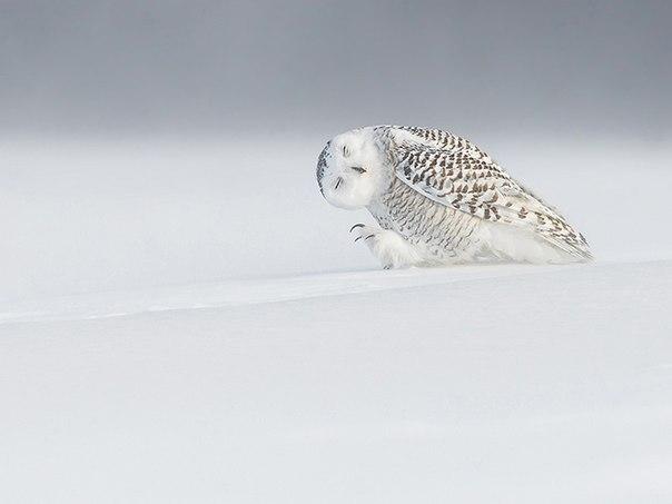 Белая сова в Квебеке, Канада