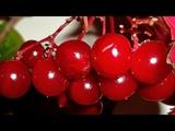 Калина Красная, Калина Вызрела - Русская Народная Песня