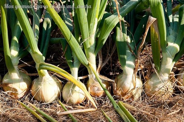Луковая польза Лук не только полезный овощ, его посадки отпугивают множество вредителей. А корневые выделения подавляют даже нематод. Именно поэтому лук или чеснок рекомендуется сажать среди