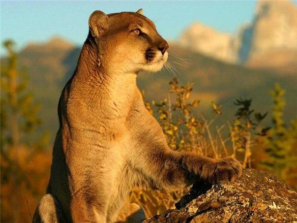 фото горные львы