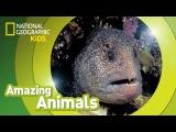 Kids' English Wolf Eel AMAZING ANIMALS