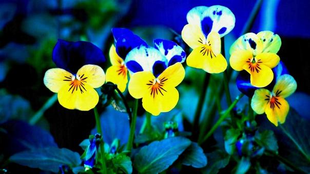 Анютины глазки - замечательные цветы!