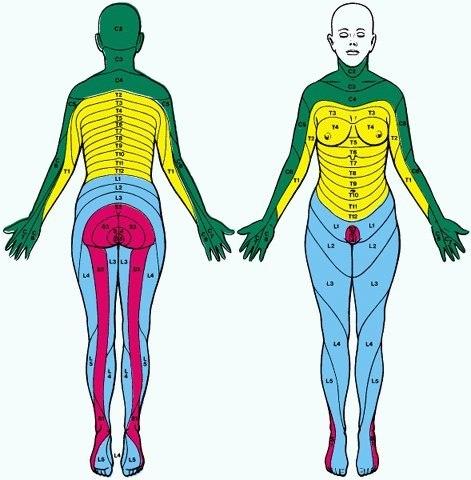 Сегментарная иннервация тела