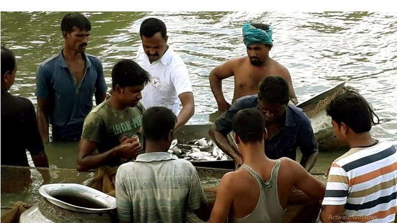 Huge Tilapia Fish And Rui Breeds net Fishing By Fisherman Bighead Carp Carp Catching With Net part 3
