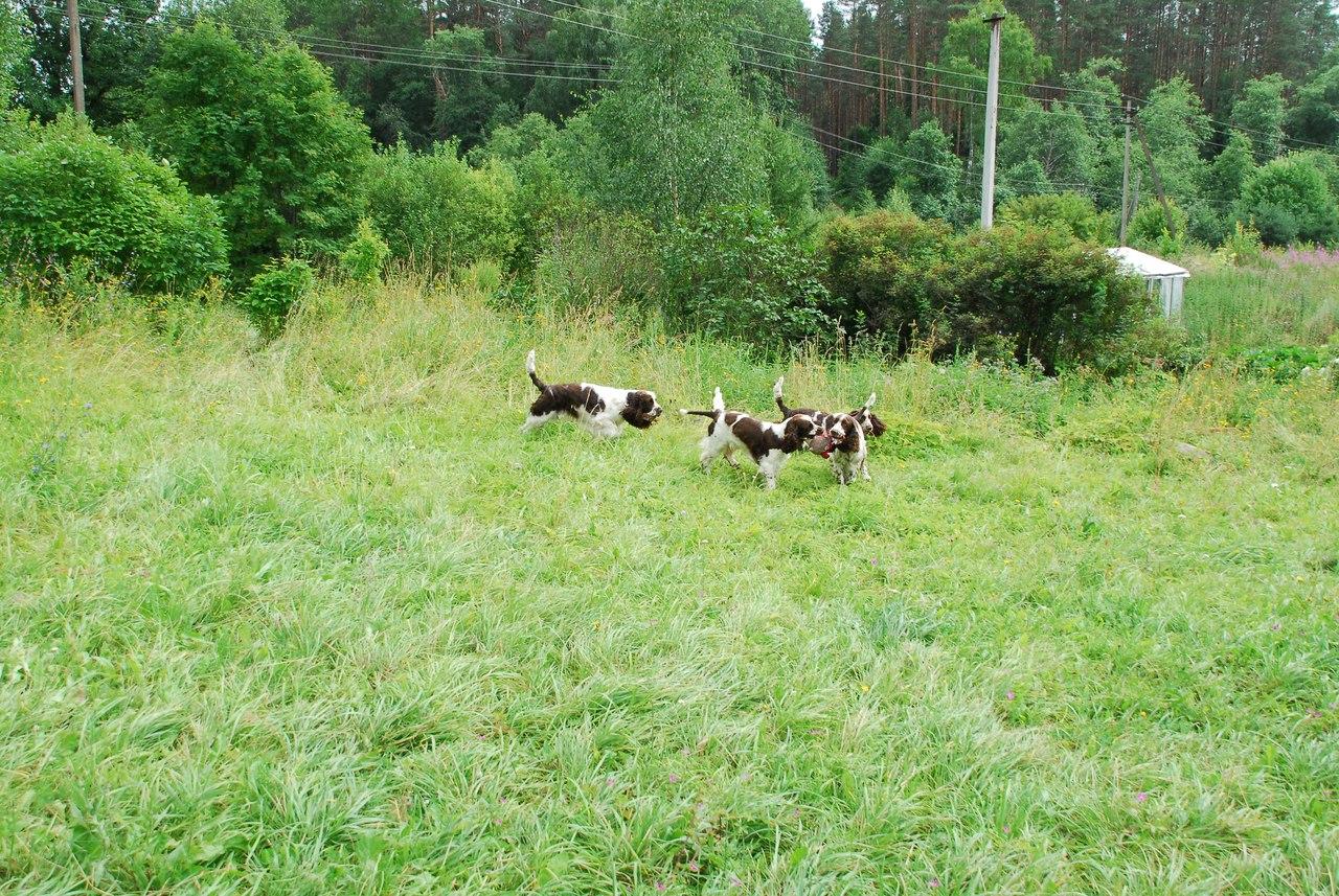 Спрингеры Foxberryhill's -Saima, Kaj, Gerda, Lotta, Connie, Violetta - Страница 10 OBEjfFS7LFM