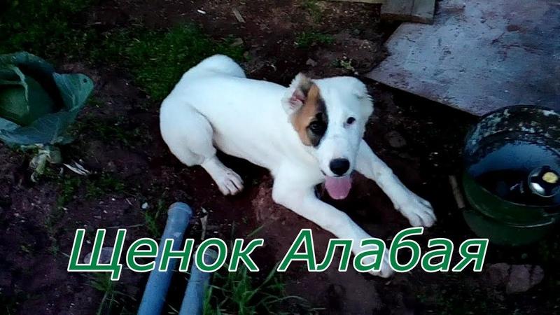 Чистокровный щенок Алабай, Димон купил собаку и назвал её Мерри