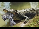BEST CROCODILE VS LEOPARD KILL ATTACK Kill a crocodile leopard Leopard Crocodile Fight hunting