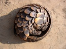 Впервые увидев панголина(лат. Pholidota) , можно решить, что перед вами броненосец…