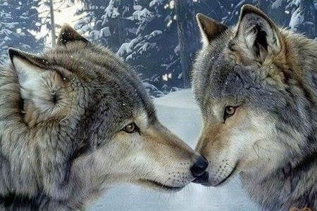 5 фактов о волках : • Волчья стая может состоять из двух-трёх особей, а может и в десять раз больше • Голодный волк может съесть 10 килограммов мяса в один присест, это как если бы человек съел за один присест сотню гамбургеров. • Глаза у волчьих щенят всегда голубые при рождении. Они желтеют только к восьми месяцам. • Самые ранние изображение волков найдены в пещерах на юге Европы, им уже более 20000 лет. • При определенных погодных условиях волки могут услышать звуки на расстоянии 9…