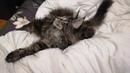 Мейн-Кун котенок LUXE 4-5 месяцев из дома Romanoff RU