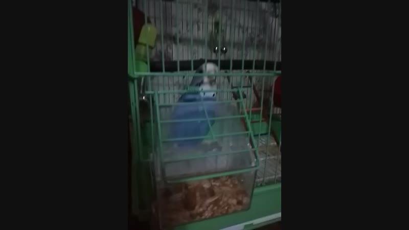 папугай