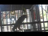 Попугай повторяет Харе Кришна. Parrot Singing Hare Krishna