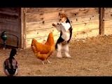 Ozzy Man Reviews Chook vs Corgi vs Duck