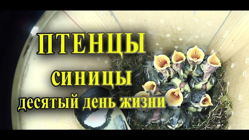 Птенцы синицы в скворечнике ДЕСЯТЫЙ день жизни / Таймлапс наблюдение за птицами