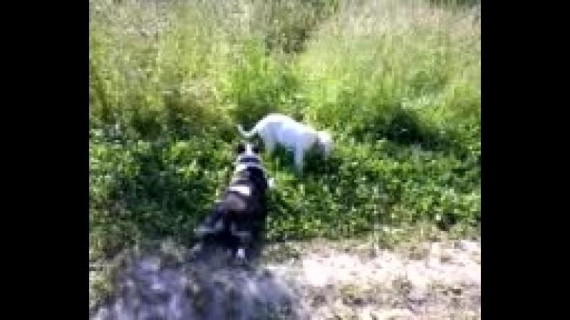 Видео-0002 Даша,Бэлка,Геля-прогулка.