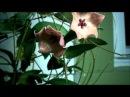 Just the Flowers Ma'am Hoya patella