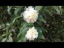 Camellia Sasanqua Plant Profile Камелия горная
