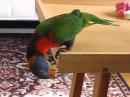Попугай лори играет с мячиком