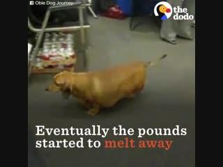 такса, похудевшая на 23 кг!