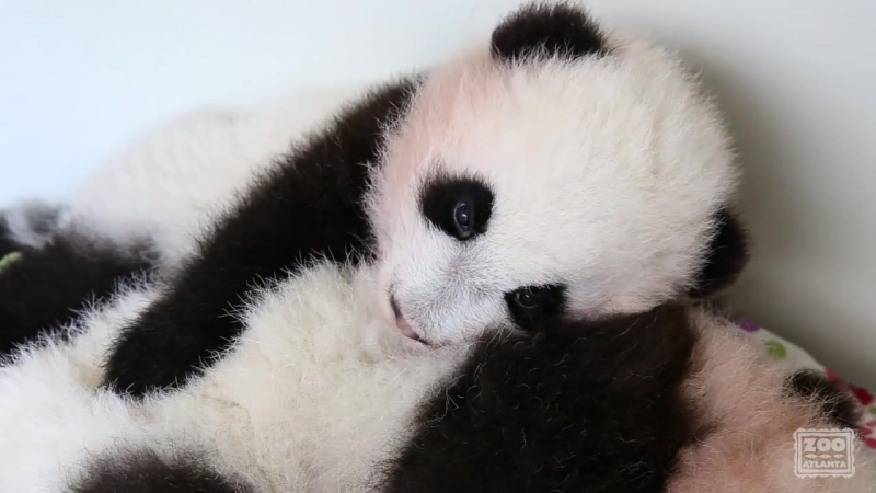 Panda Cubs - When Your Brother Doesnt Let You Nap