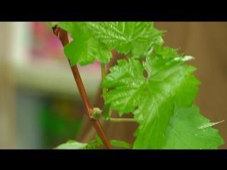 Грандиозное поступление саженцев винограда в магазины садового центра