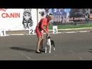 Интернациональная выставка собак в Великом Новгороде ранга CACIB Американский стаффордширский терьер