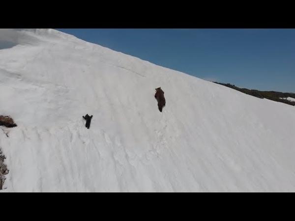 Медвежонок карабкается по склону за матерью baby bear trying to get up