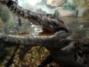 Охота на петербургского крокодила